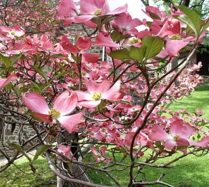 Dogwoods in full bloom